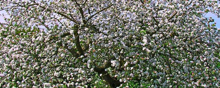 Streuobstbaum in voller Blüte